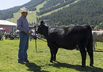 A man standing next to cow.